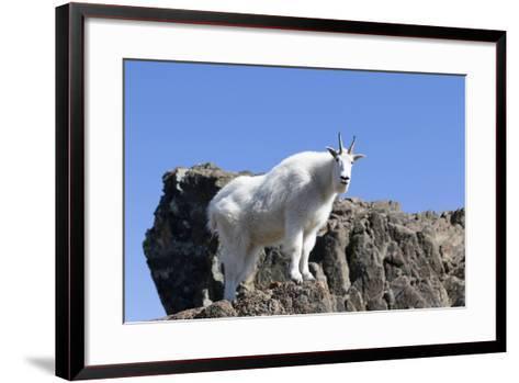 Washington, Alpine Lakes Wilderness, Mountain Goat, Nanny-Jamie And Judy Wild-Framed Art Print