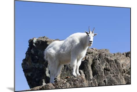 Washington, Alpine Lakes Wilderness, Mountain Goat, Nanny-Jamie And Judy Wild-Mounted Photographic Print