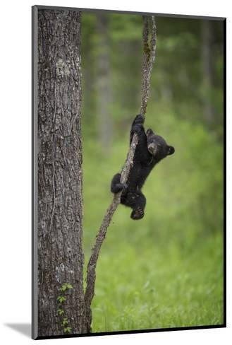 USA, Tennessee. Black Bear Cub Playing on Tree Limb-Jaynes Gallery-Mounted Photographic Print