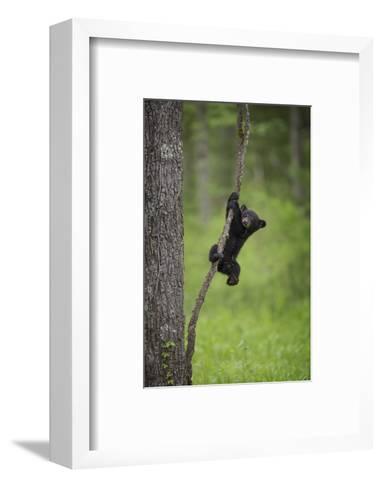 USA, Tennessee. Black Bear Cub Playing on Tree Limb-Jaynes Gallery-Framed Art Print