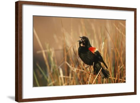 Red-Winged Blackbird Male Singing, Displaying in Wetland, Marion, Il-Richard and Susan Day-Framed Art Print