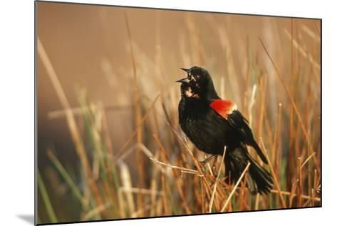 Red-Winged Blackbird Male Singing, Displaying in Wetland, Marion, Il-Richard and Susan Day-Mounted Photographic Print