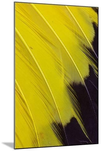 Wing Feathers of Yellow Rumped Cacique-Darrell Gulin-Mounted Photographic Print