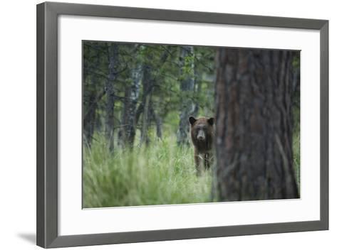 USA, Colorado. A Cinnamon Phase Black Bear in Forest-Jaynes Gallery-Framed Art Print