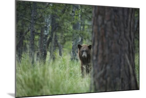 USA, Colorado. A Cinnamon Phase Black Bear in Forest-Jaynes Gallery-Mounted Photographic Print