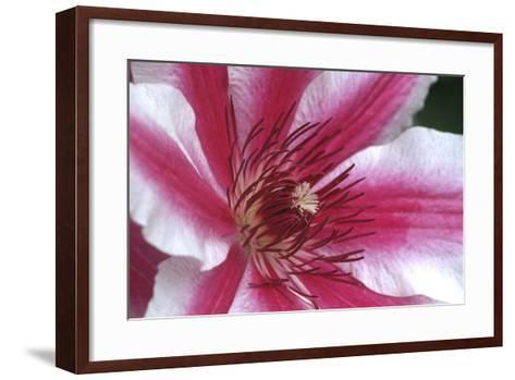 Carnaby Clematis Flower, Marion County, Illinois-Richard and Susan Day-Framed Art Print