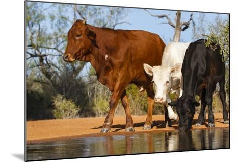 Cattle Drinking-Larry Ditto-Mounted Photographic Print