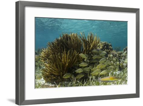 Blue Striped Grunt and Yellowhead Wrasse, Hol Chan Marine Reserve, Belize-Pete Oxford-Framed Art Print