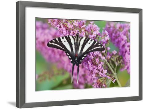 Zebra Swallowtail Butterfly-Darrell Gulin-Framed Art Print