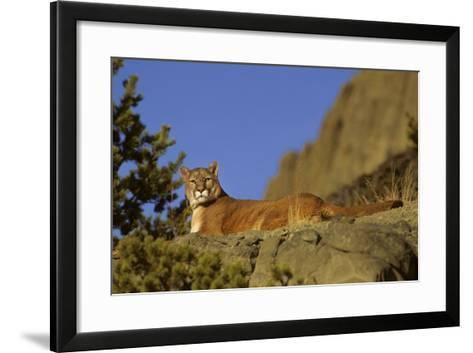 Mountain Lion, Montana-Richard and Susan Day-Framed Art Print