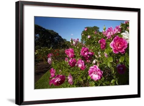 Pink Roses in a Garden, Parnell, Auckland, North Island, New Zealand-David Wall-Framed Art Print
