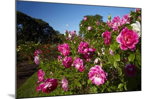 Pink Roses in a Garden, Parnell, Auckland, North Island, New Zealand-David Wall-Mounted Photographic Print