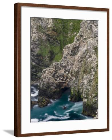 Hermaness National Nature Reserve on the Island Unst. Colony of Northern Gannet-Martin Zwick-Framed Art Print