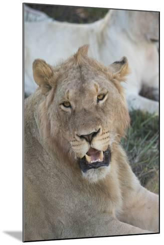 South Africa, Eastern Cape, East London. Inkwenkwezi Game Reserve. Young Male Lion-Cindy Miller Hopkins-Mounted Photographic Print