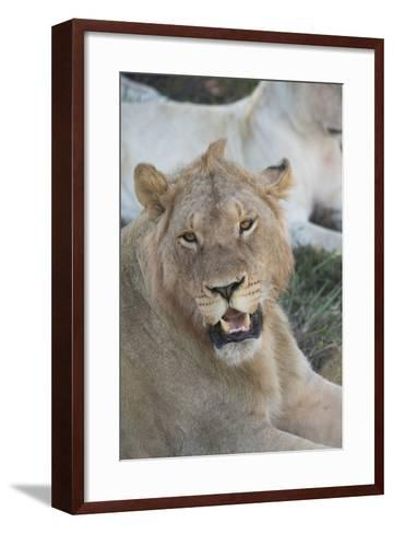South Africa, Eastern Cape, East London. Inkwenkwezi Game Reserve. Young Male Lion-Cindy Miller Hopkins-Framed Art Print