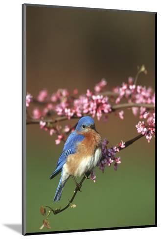 Eastern Bluebird Male in Redbud Tree in Spring Marion County, Illinois-Richard and Susan Day-Mounted Photographic Print