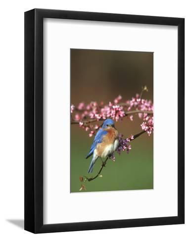 Eastern Bluebird Male in Redbud Tree in Spring Marion County, Illinois-Richard and Susan Day-Framed Art Print