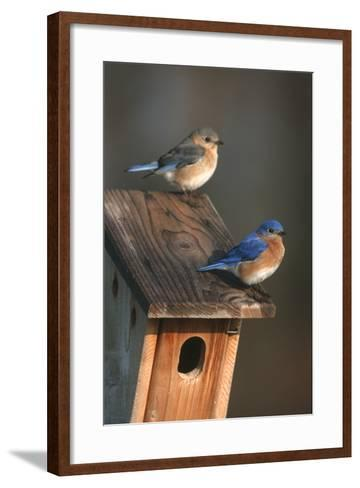 Eastern Bluebird Male and Female on Peterson Nest Box Marion County, Illinois-Richard and Susan Day-Framed Art Print
