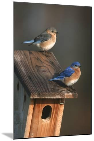 Eastern Bluebird Male and Female on Peterson Nest Box Marion County, Illinois-Richard and Susan Day-Mounted Photographic Print
