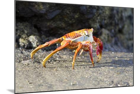Sally Lightfoot Crab on Floreana Island, Galapagos Islands-Diane Johnson-Mounted Photographic Print