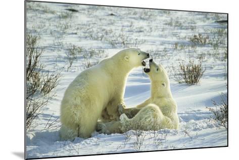 Polar Bears Sparring, Churchill, Manitoba, Canada-Richard and Susan Day-Mounted Photographic Print