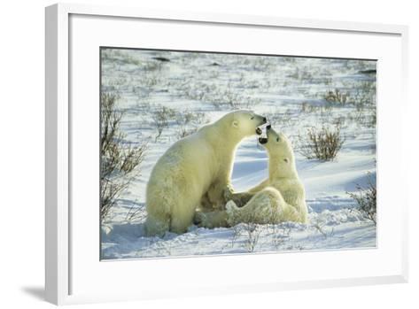 Polar Bears Sparring, Churchill, Manitoba, Canada-Richard and Susan Day-Framed Art Print