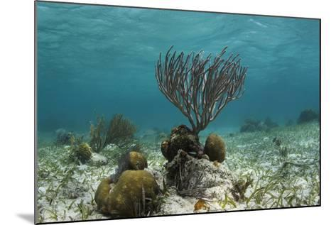 Porous Sea Rods, Hol Chan Marine Reserve, Belize-Pete Oxford-Mounted Photographic Print