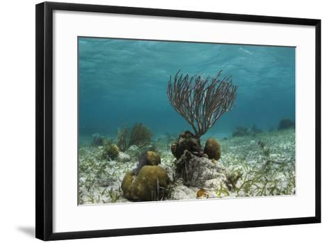 Porous Sea Rods, Hol Chan Marine Reserve, Belize-Pete Oxford-Framed Art Print