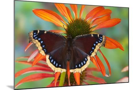 Mourning Cloak Butterfly-Darrell Gulin-Mounted Photographic Print