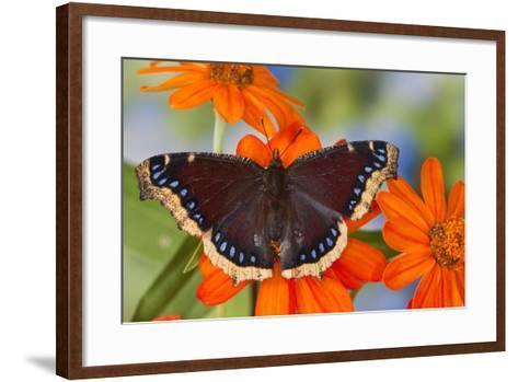 Mourning Cloak Butterfly-Darrell Gulin-Framed Art Print
