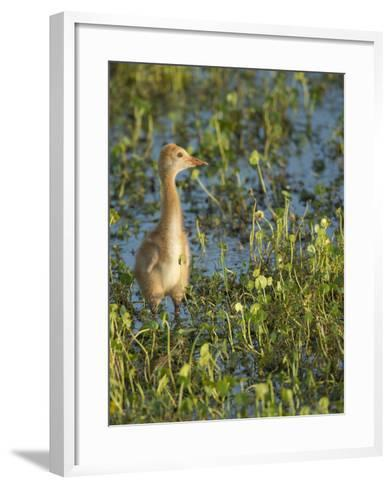 Sandhill Crane Colt Out Foraging, Florida-Maresa Pryor-Framed Art Print