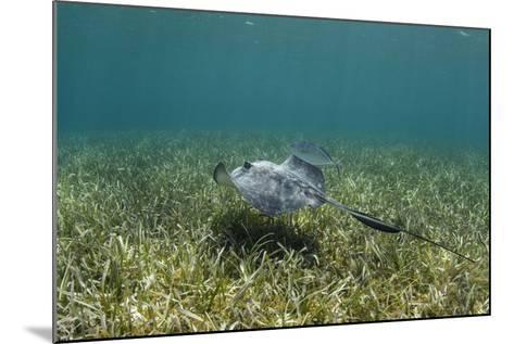 Southern Stingray and Bar Jack, Belize Barrier Reef, Belize-Pete Oxford-Mounted Photographic Print