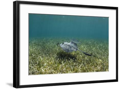 Southern Stingray and Bar Jack, Belize Barrier Reef, Belize-Pete Oxford-Framed Art Print
