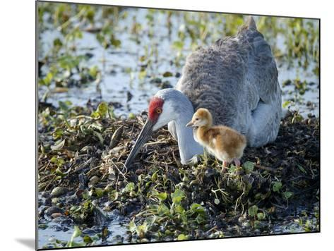 Sandhill Crane on Nest with 2 Day Old Colt, Waiting on Second Egg to Hatch, Florida-Maresa Pryor-Mounted Photographic Print