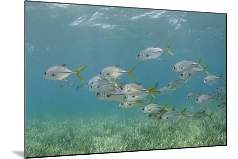 Horse-Eye Jack, Hol Chan Marine Reserve, Belize-Pete Oxford-Mounted Photographic Print