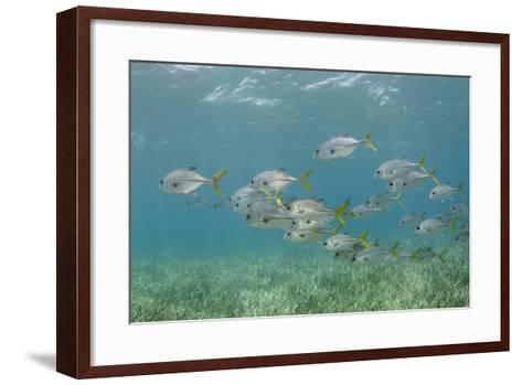 Horse-Eye Jack, Hol Chan Marine Reserve, Belize-Pete Oxford-Framed Art Print