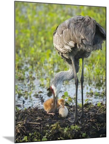 Just Hatched, Sandhill Crane First Colt with Food in Beak, Florida-Maresa Pryor-Mounted Photographic Print