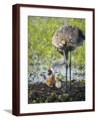 Just Hatched, Sandhill Crane First Colt with Food in Beak, Florida-Maresa Pryor-Framed Art Print