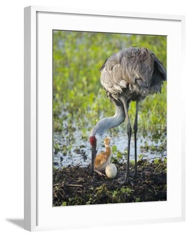 Just Hatched, Sandhill Crane Rotating Second Egg, First Colt, Florida-Maresa Pryor-Framed Art Print