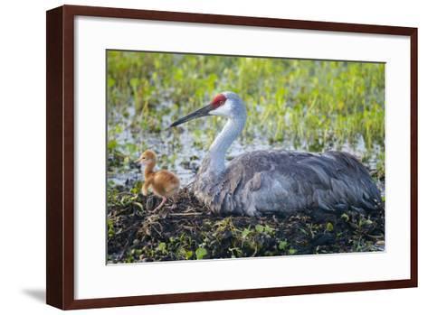 Just Hatched, Sandhill Crane on Nest with First Colt, Florida-Maresa Pryor-Framed Art Print