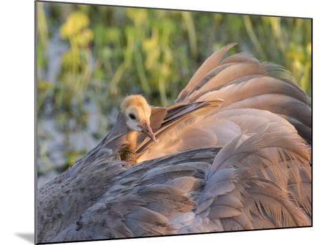 Sandhill Crane on Nest with Baby on Back, Florida-Maresa Pryor-Mounted Photographic Print