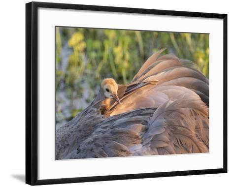 Sandhill Crane on Nest with Baby on Back, Florida-Maresa Pryor-Framed Art Print