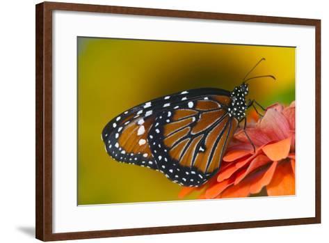 Queen Butterfly-Darrell Gulin-Framed Art Print