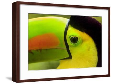 Keel-Billed Toucan, Belize City, Belize-Stuart Westmorland-Framed Art Print
