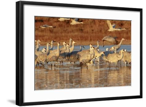 Sandhill Cranes Morning Liftoff, Bosque Del Apache National Wildlife Refuge, New Mexico-Maresa Pryor-Framed Art Print