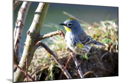 The Audubon's Warbler Is a Small New World Warbler-Richard Wright-Mounted Photographic Print