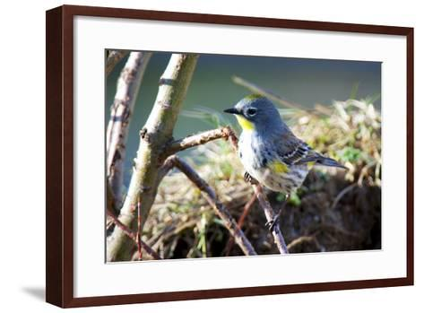 The Audubon's Warbler Is a Small New World Warbler-Richard Wright-Framed Art Print