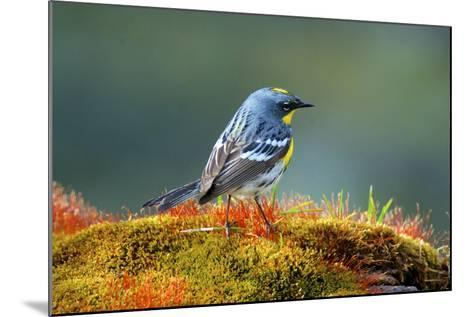 The Audubon's Warbler-Richard Wright-Mounted Photographic Print