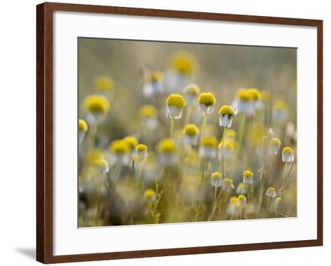 Close Up of Chamomile, Hortobagy National Park in Spring. Hungary-Martin Zwick-Framed Art Print