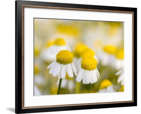 Close Up of Chamomile, Hortobagy National Park in Spring. Hungary-Martin Zwick-Framed Art Print